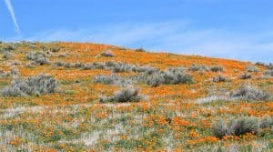 The lancaster poppy reserve in Lancaster, CA